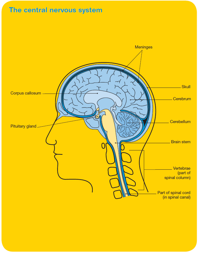 Brain tumours: Overview | Cancer Council Victoria