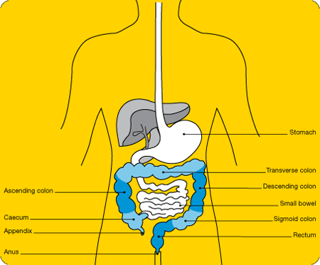 A diagram of the digestive system