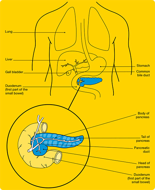 Diagram of the pancreas