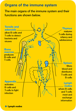 Organs of the immune system